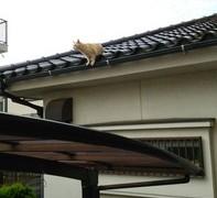 【画像】隣家の屋根に登ってる猫が朝からにゃんにゃんうるさいんやがwwww